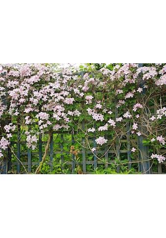 BCM Kletterpflanze »Waldrebe montana 'Fragrant Spring'«, Lieferhöhe: ca. 60 cm, 1 Pflanze kaufen