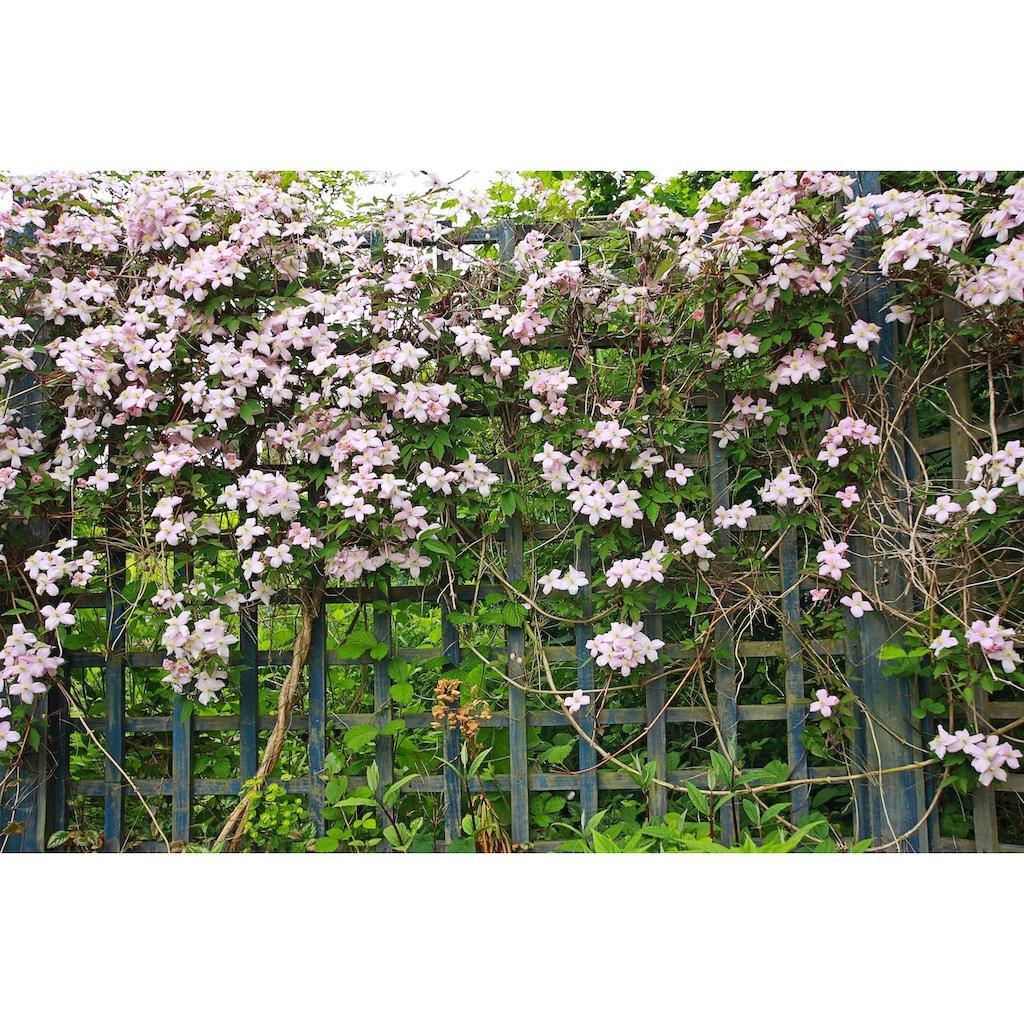 BCM Kletterpflanze »Waldrebe montana 'Fragrant Spring'«, Lieferhöhe: ca. 60 cm, 1 Pflanze