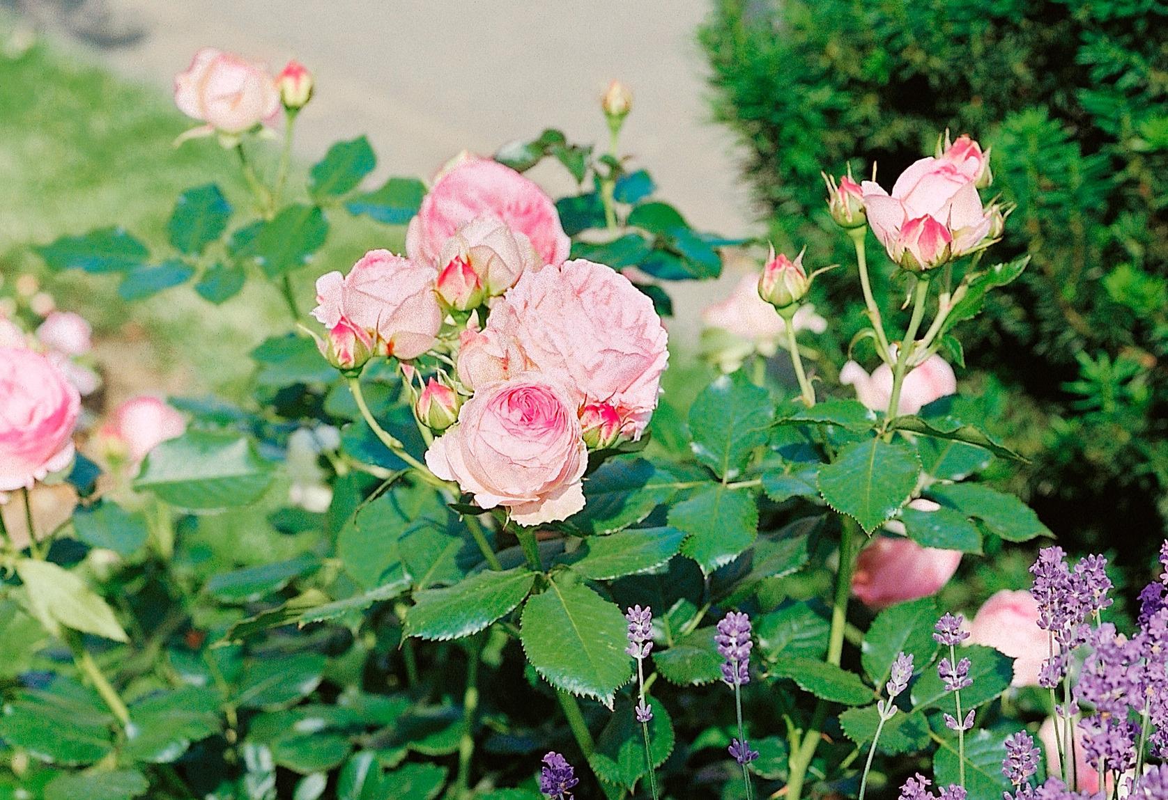 BCM Beetpflanze Strauchrose Eden Rose rosa Beetpflanzen Pflanzen Garten Balkon