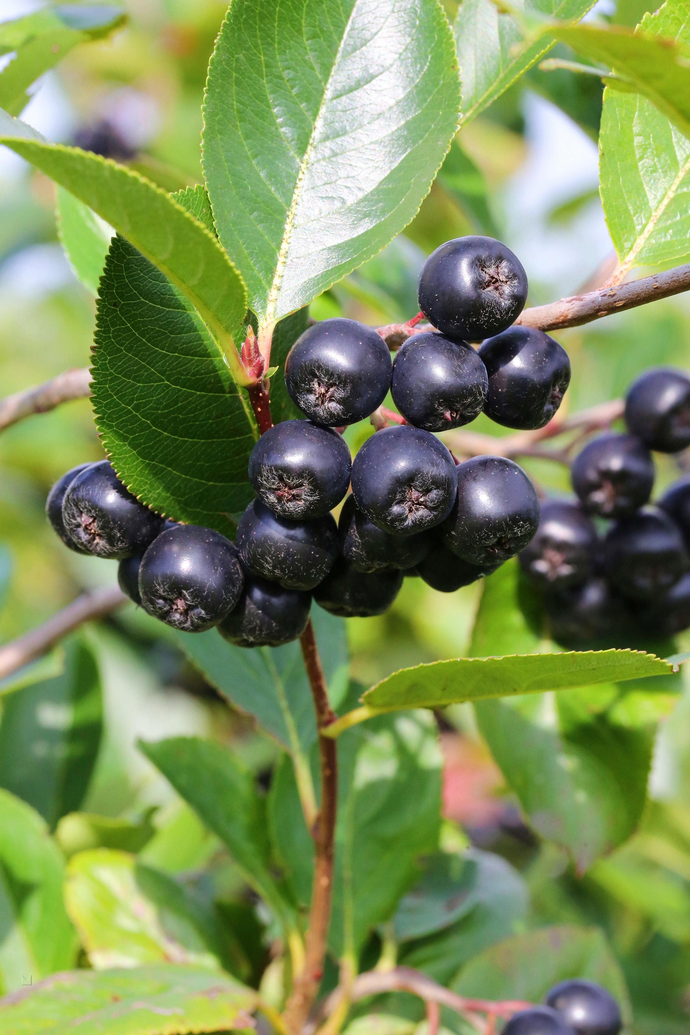 BCM Obstpflanze Apfelbeere melanocarpa 'Viking', Lieferhöhe: ca. 60 cm, 1 Pflanze weiß Pflanzen Garten Balkon
