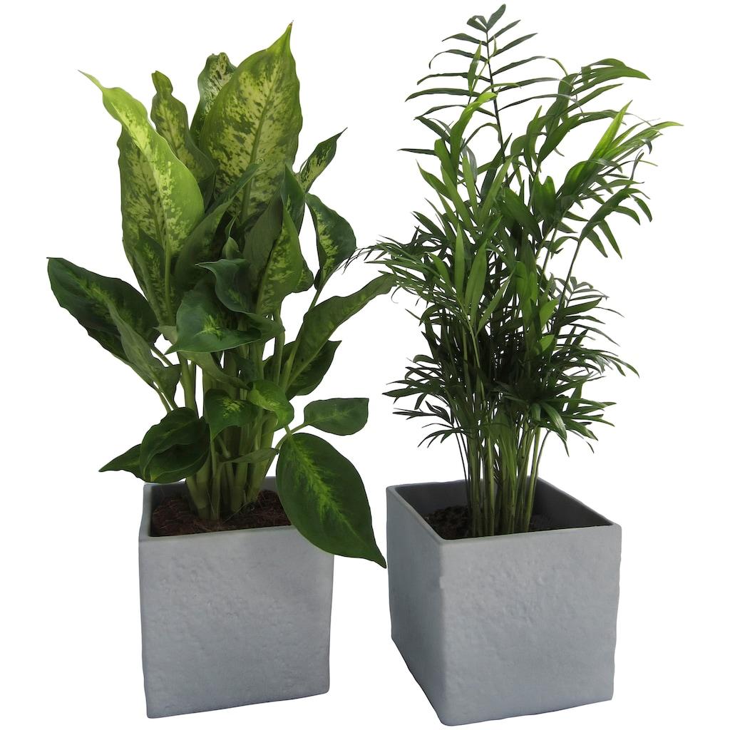 Dominik Zimmerpflanze »Grünpflanzen-Set«, Höhe: 30 cm, 2 Pflanzen in Dekotöpfen