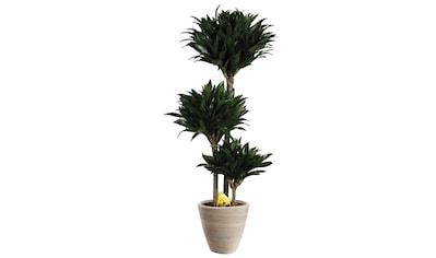 Zimmerpflanze »Drachenbaum Compacta«, 65 cm kaufen