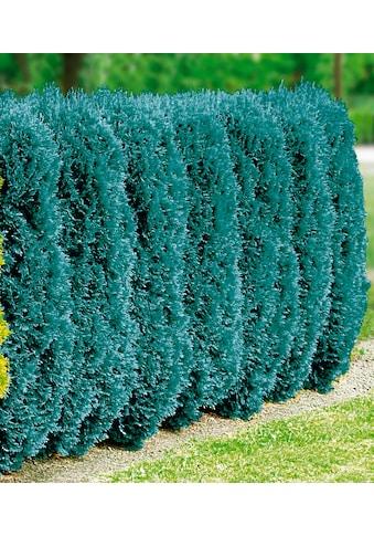 BCM Hecken »Blaue Scheinzypresse« kaufen