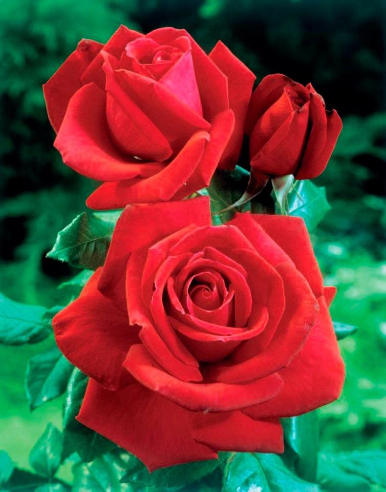 BCM Beetpflanze Rose Dame de Coeur, Höhe 30 cm, 1 Pflanze rot Beetpflanzen Pflanzen Garten Balkon