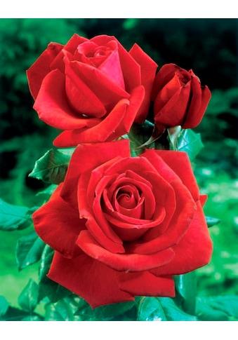 BCM Beetpflanze »Rose Dame de Coeur«, Höhe 30 cm, 1 Pflanze kaufen
