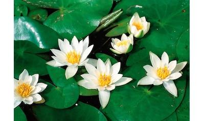 BCM Wasserpflanze »Seerose Pöstlingsberg« kaufen