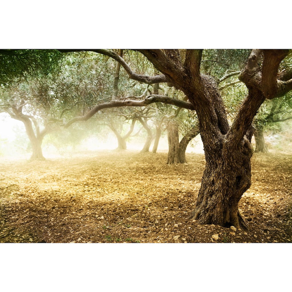 Papermoon Fototapete »Old Olive Trees«